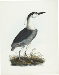 Prideaux John Selby (1788-1867). Night Heron - Plate VII.  Hand-colored engraving from the second edition of Se