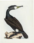 Antiques:Posters & Prints, Prideaux John Selby (1788-1867). Common Cormorant - Plate LXXXIV..Hand-colored engraving from the second edition of Selby...