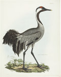 Antiques:Posters & Prints, Prideaux John Selby (1788-1867). Common Cinereous Crane - Plate I..An impressive hand-colored engraving from the second e...