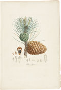 Antiques:Posters & Prints, Pierre Jean François Turpin. Pin/Pignon - Plate 125. A hand-colored stipple engraving from Duhamel's Traité des Arbres Fru...