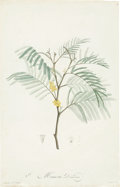 Antiques:Posters & Prints, Pierre-Joseph Redouté (1759-1840). Two Prints: Mimosa Decurrens.[and:] Mimosa Longifolia.. Two lovely mimosa stipple ... (Total: 2Items)