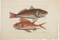 Antiques:Posters & Prints, Mark Catesby. Two Fish Prints. Two hand-colored copper engravingsfrom The Natural History of Carolina, Florida and the Ba...(Total: 2 Items)