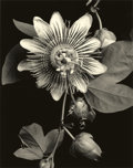Photographs, TOM BARIL (American, b. 1952). Passion Vine, 1991. Toned gelatin silver, 2000. 23-1/4 x 18 inches (59.1 x 45.7 cm). Rect...