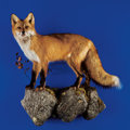 Zoology:Taxidermy, RED FOX FULL-BODY MOUNT. ...