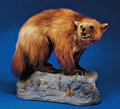 Zoology:Taxidermy, WOLVERINE FULL-BODY MOUNT. ...