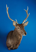 Zoology:Taxidermy, MANCHURIAN SIKA DEER SHOULDER MOUNT. ...