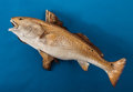 Zoology:Taxidermy, LARGE REDFISH ON NATURAL DRIFTWOOD. ...