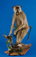 Zoology:Taxidermy, CHACMA BABOON FULL-BODY MOUNT. ...