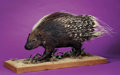 Zoology:Taxidermy, AFRICAN CRESTED PORCUPINE FULL-BODY MOUNT. ...