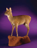 Zoology:Taxidermy, CHINESE WATER DEER FULL-BODY MOUNT. ...