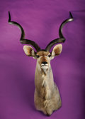 Zoology:Taxidermy, SOUTHERN GREATER KUDU SHOULDER MOUNT. ...