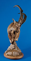 Zoology:Taxidermy, PERSIAN IBEX PEDESTAL SHOULDER MOUNT. ...