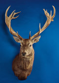 Zoology:Taxidermy, RECORD-CLASS SPANISH RED STAG SHOULDER MOUNT. ...
