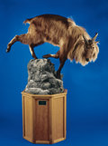 Zoology:Taxidermy, HIMALAYAN TAHR FULL-BODY MOUNT. ...