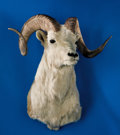 Zoology:Taxidermy, ALASKAN DALL SHEEP SHOULDER MOUNT. ...