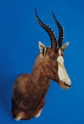 Zoology:Taxidermy, BLESBUCK SHOULDER MOUNT. ...