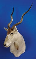 Zoology:Taxidermy, ADDAZ ANTELOPE SHOULDER MOUNT. ...