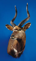 Zoology:Taxidermy, SOUTHERN NYALA SHOULDER MOUNT. ...