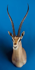 Zoology:Taxidermy, SOUTHERN GRANT'S GAZELLE SHOULDER MOUNT. ...