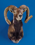 Zoology:Taxidermy, CORSICAN RAM SHOULDER MOUNT. ...