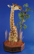 Zoology:Taxidermy, GIRAFFE PEDESTAL SHOULDER MOUNT. ...