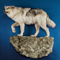 Zoology:Taxidermy, TIMBER WOLF FULL-BODY MOUNT. ...