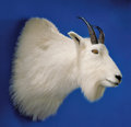 Zoology:Taxidermy, ROCKY MOUNTAIN GOAT SHOULDER MOUNT. ...