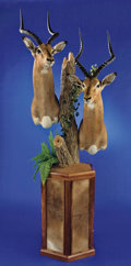 Zoology:Taxidermy, PAIR OF SOUTHERN IMPALA PEDESTAL SHOULDER MOUNTS. ...
