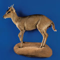 Zoology:Taxidermy, CHINESE MUNTJACK FULL-BODY MOUNT. ...