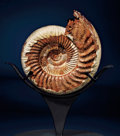 Fossils:Cepholopoda, SUPERB AMMONITE. ...