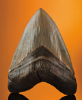 Fossils:Fish, PREHISTORIC SHARK TOOTH. ...