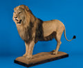 Zoology:Taxidermy, AFRICAN LION FULL-BODY MOUNT. ...