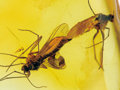 Amber, MATING INSECTS IN AMBER. ...