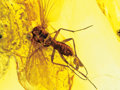 Amber, EGG-LAYING GNAT IN AMBER. ...