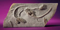 Fossils:Echinoderms, FINE FOSSIL CRINOID PLATE. ...