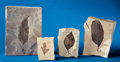 Fossils:Paleobotany (Plants), FOSSIL LEAF COLLECTION. ... (Total: 4 Items)