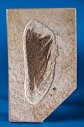 Fossils:Aves (Birds), RARE FOSSIL FEATHER. ...