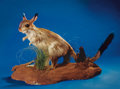 Zoology:Taxidermy, AFRICAN SPRINGHARE FULL-BODY MOUNT. ...