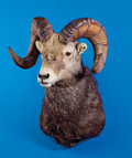 Zoology:Taxidermy, STONE SHEEP SHOULDER MOUNT. ...