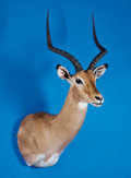 Zoology:Taxidermy, SOUTHERN IMPALA SHOULDER MOUNT. ...