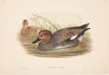 Antiques:Posters & Prints, John Gould. Two Water Bird Prints, including: ChaulelasmusStrepera. [and:] Uria Carbo. Both generally very good.. ... (Total:2 Items)