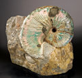Fossils:Cepholopoda, VERY LARGE GEM SCAPHITE ON MATRIX. ...
