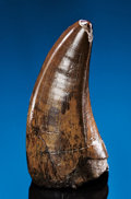 Dinosauria:Teeth, VERY LARGE AND PRISTINE T. REX TOOTH. ...