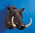 Zoology:Taxidermy, RECORD-CLASS AFRICAN WARTHOG SHOULDER MOUNT. ...