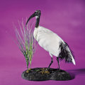 Zoology:Taxidermy, AFRICAN SACRED IBIS . ...