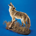 Zoology:Taxidermy, COYOTE FULL-BODY MOUNT. ...