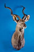 Zoology:Taxidermy, GREATER KUDU SHOULDER MOUNT. ...