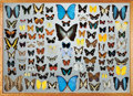 Zoology:Mounted Insects, LARGE BUTTERFLY DISPLAY CASE. ...