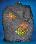 Fossils:Cepholopoda, FINE DOUBLE GEM AMMONITE WALL PLAQUE. ...