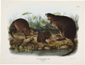 Antiques:Posters & Prints, John James Audubon Fiber Zibethicus - Plate XIII (Bowen Edition). Hand-colored lithograph of the Musk-Rat from the imperial ...